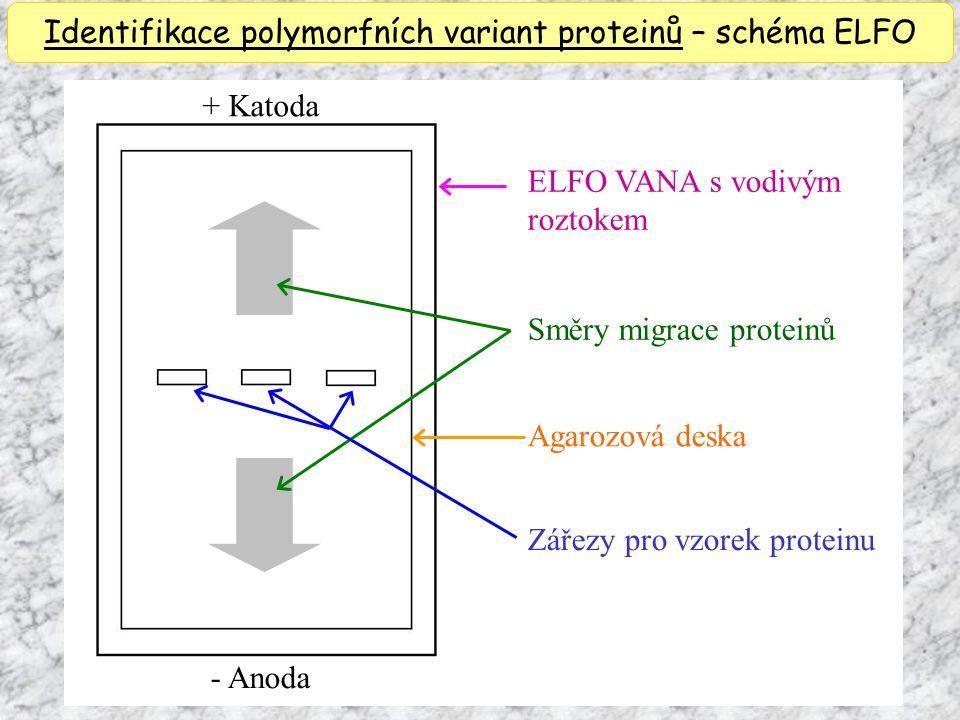 Identifikace polymorfních variant proteinů – schéma ELFO + Katoda - Anoda ELFO VANA s vodivým roztokem Směry migrace proteinů Agarozová deska Zářezy pro vzorek proteinu