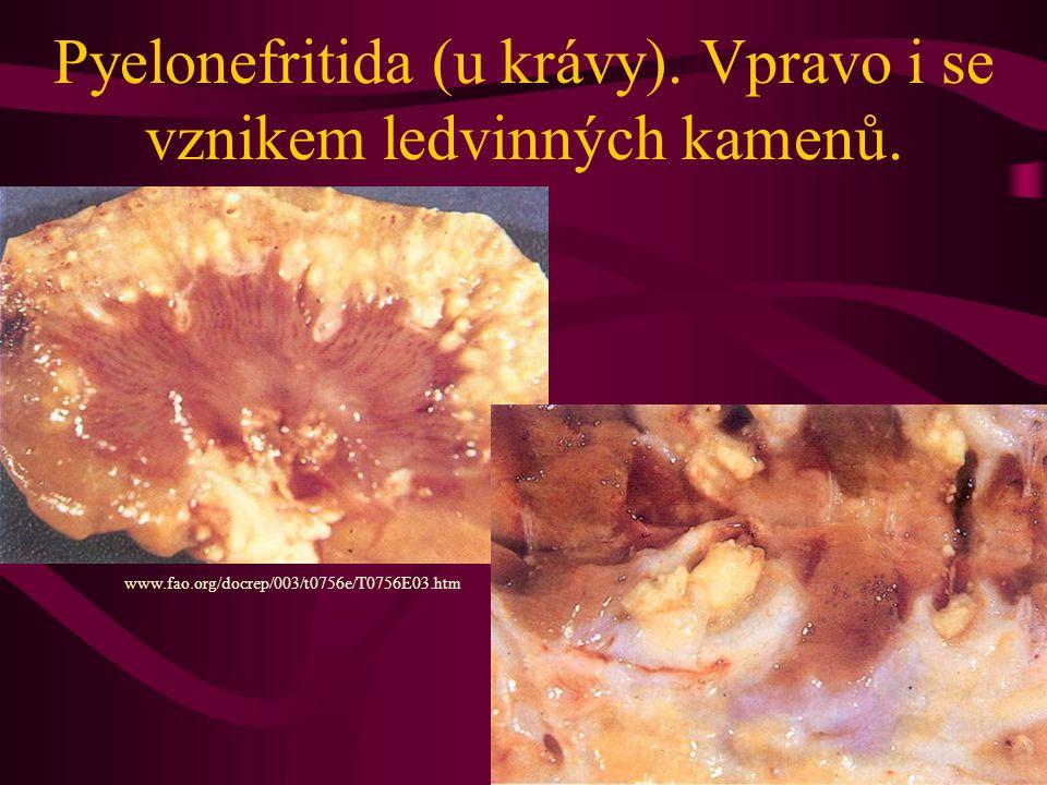Pyelonefritida (u krávy). Vpravo i se vznikem ledvinných kamenů. www.fao.org/docrep/003/t0756e/T0756E03.htm