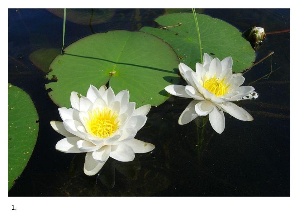 Stulík žlutý Má podobné listy jako leknín, pokud není v květu, lze si ho s ním splést.