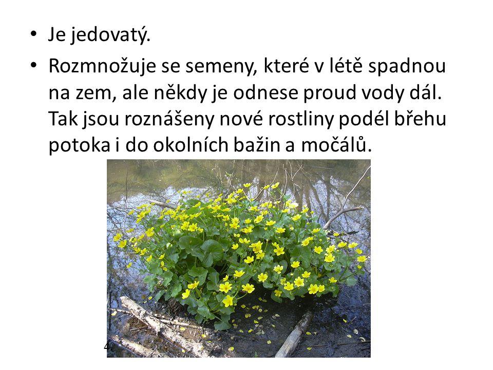 Je jedovatý. Rozmnožuje se semeny, které v létě spadnou na zem, ale někdy je odnese proud vody dál. Tak jsou roznášeny nové rostliny podél břehu potok