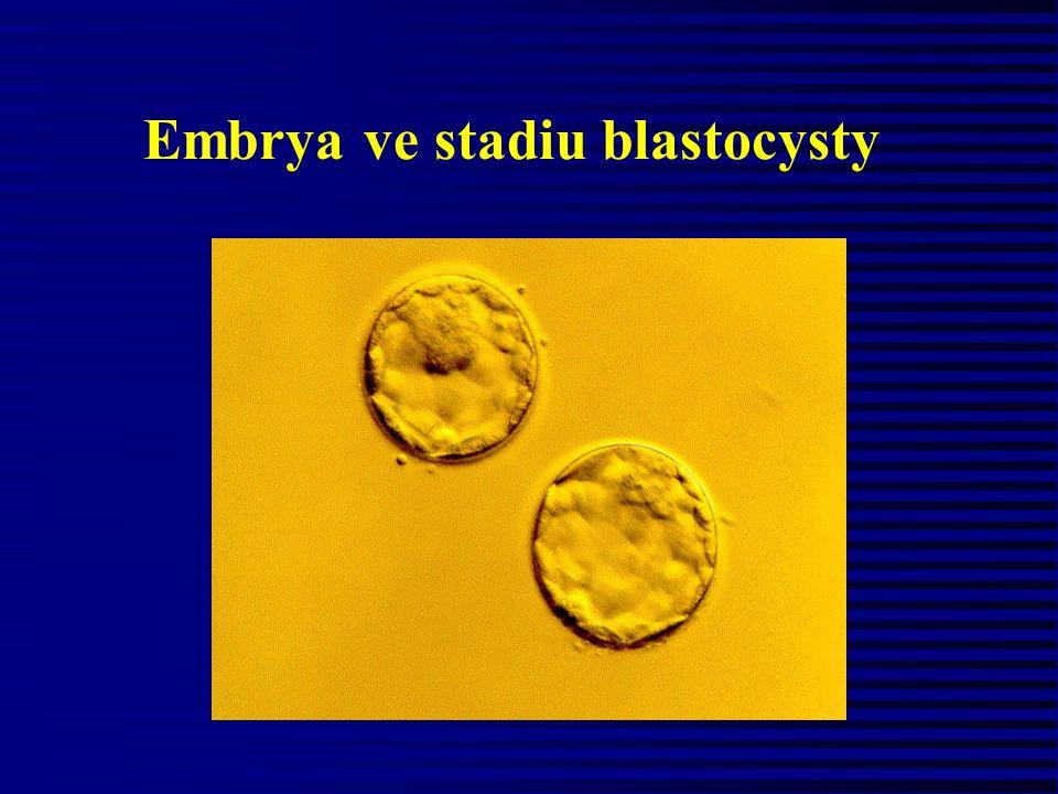 Embrya ve stadiu blastocysty