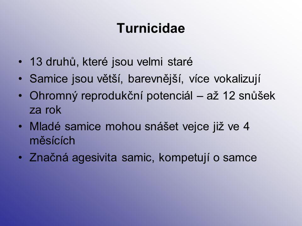 Turnicidae 13 druhů, které jsou velmi staré Samice jsou větší, barevnější, více vokalizují Ohromný reprodukční potenciál – až 12 snůšek za rok Mladé s
