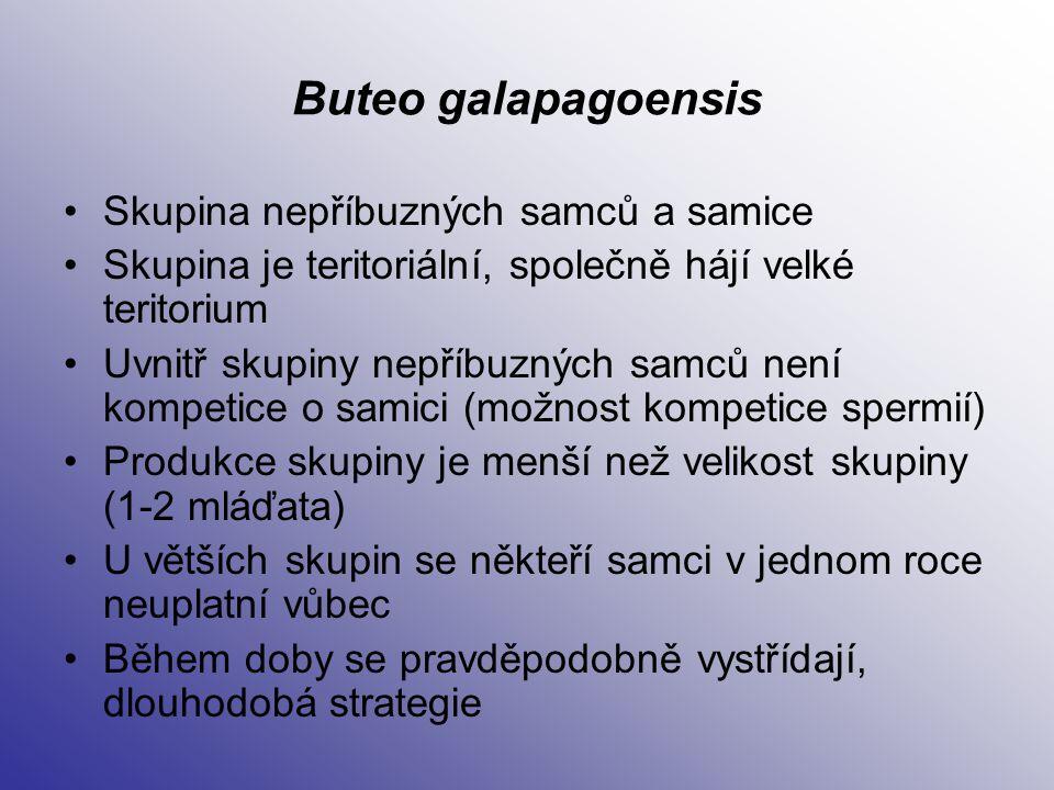Buteo galapagoensis Skupina nepříbuzných samců a samice Skupina je teritoriální, společně hájí velké teritorium Uvnitř skupiny nepříbuzných samců není