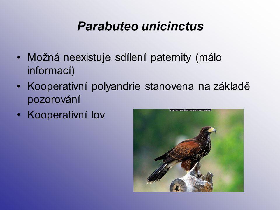 Parabuteo unicinctus Možná neexistuje sdílení paternity (málo informací) Kooperativní polyandrie stanovena na základě pozorování Kooperativní lov