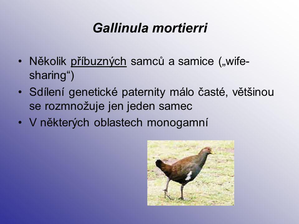"""Gallinula mortierri Několik příbuzných samců a samice (""""wife- sharing"""") Sdílení genetické paternity málo časté, většinou se rozmnožuje jen jeden samec"""