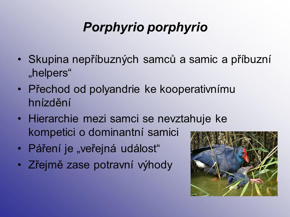 """Porphyrio porphyrio Skupina nepříbuzných samců a samic a příbuzní """"helpers"""" Přechod od polyandrie ke kooperativnímu hnízdění Hierarchie mezi samci se"""