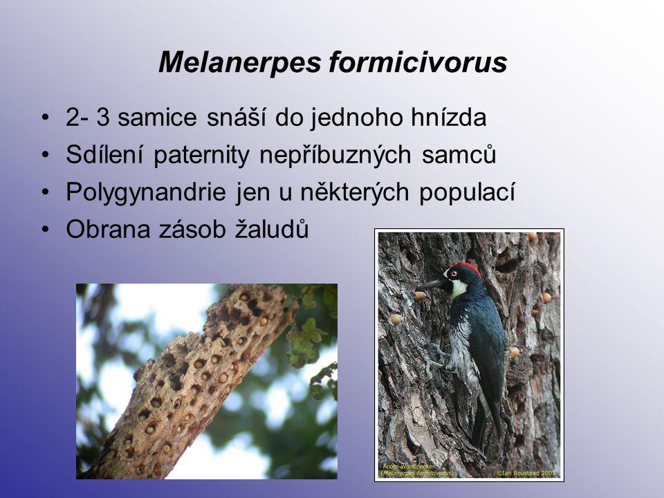 Melanerpes formicivorus 2- 3 samice snáší do jednoho hnízda Sdílení paternity nepříbuzných samců Polygynandrie jen u některých populací Obrana zásob ž