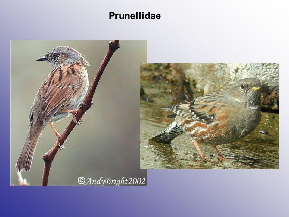 Prunellidae