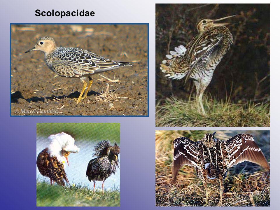 Scolopacidae