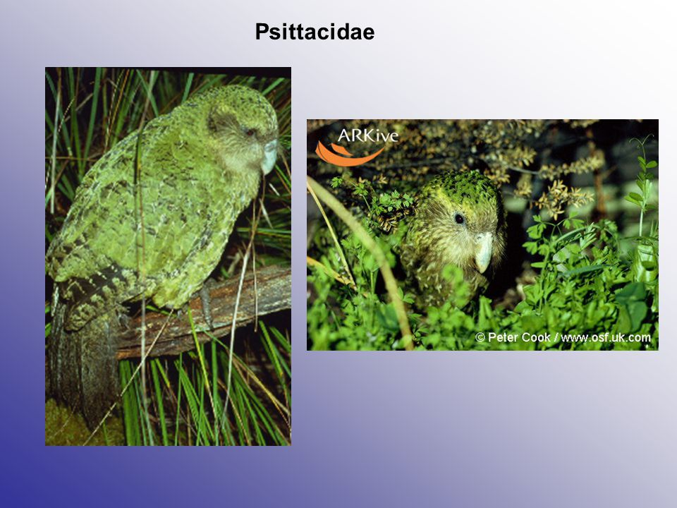 Psittacidae