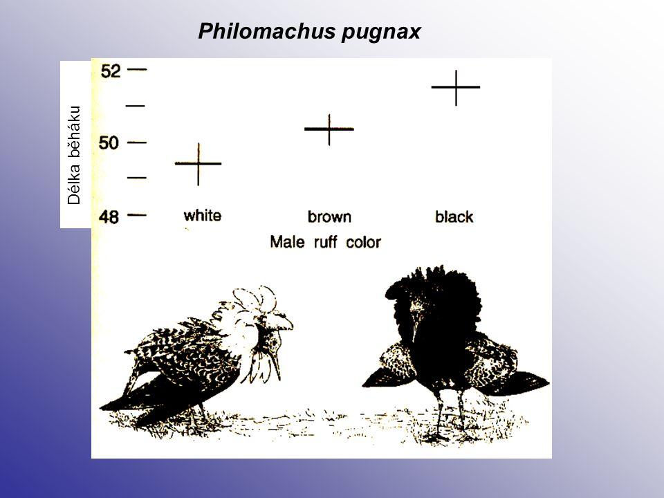Délka běháku Philomachus pugnax