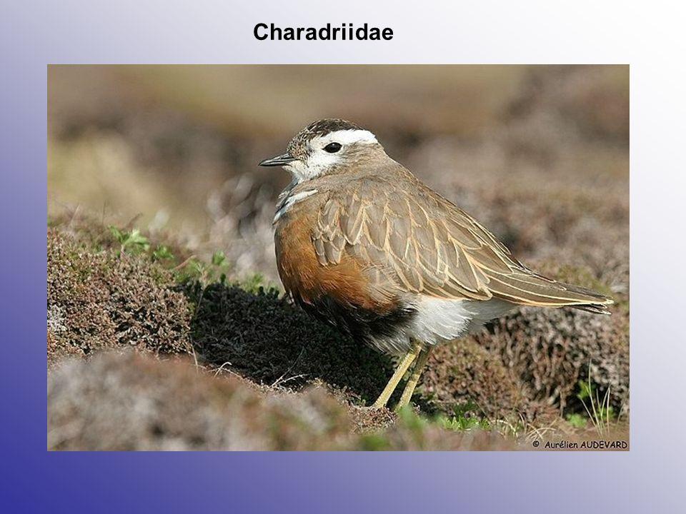 Charadriidae