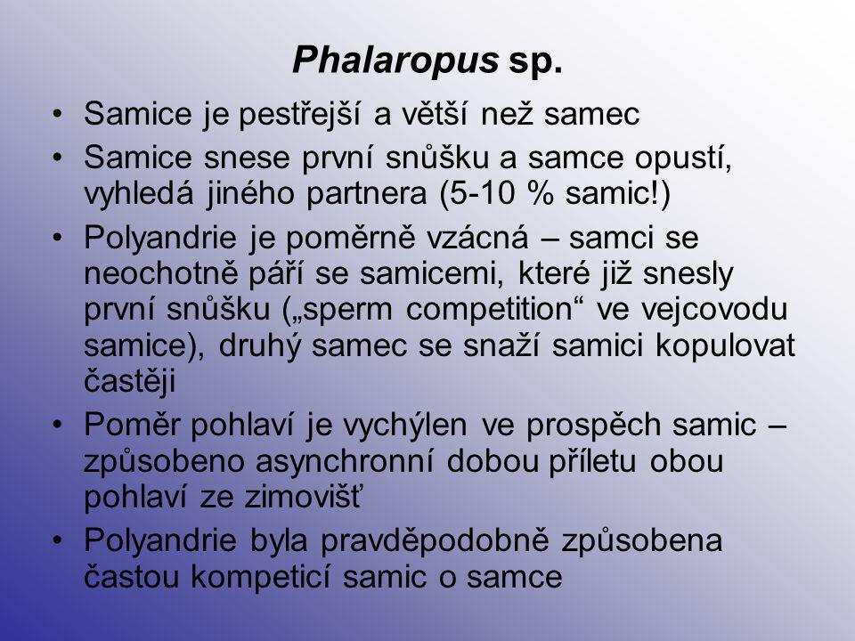 Phalaropus sp. Samice je pestřejší a větší než samec Samice snese první snůšku a samce opustí, vyhledá jiného partnera (5-10 % samic!) Polyandrie je p