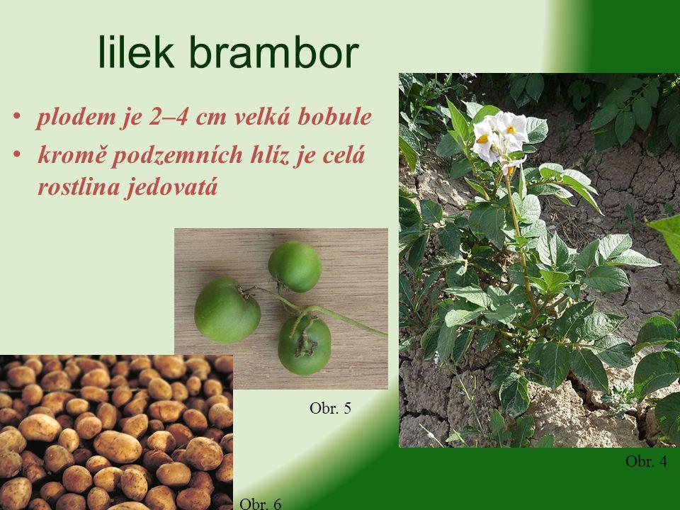 lilek brambor plodem je 2–4 cm velká bobule kromě podzemních hlíz je celá rostlina jedovatá Obr. 4 Obr. 5 Obr. 6
