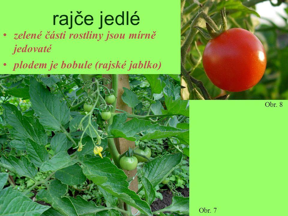 rajče jedlé zelené části rostliny jsou mírně jedovaté plodem je bobule (rajské jablko) Obr. 7 Obr. 8