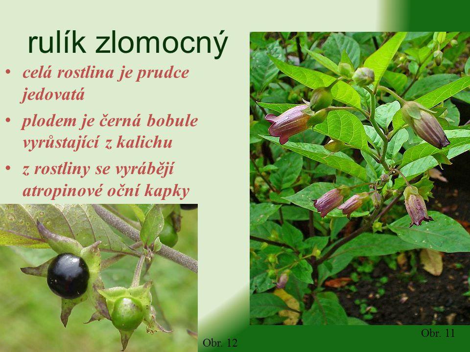 rulík zlomocný celá rostlina je prudce jedovatá plodem je černá bobule vyrůstající z kalichu z rostliny se vyrábějí atropinové oční kapky Obr. 11 Obr.