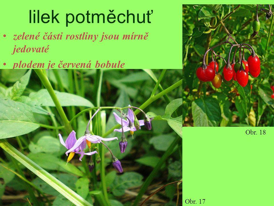 lilek potměchuť zelené části rostliny jsou mírně jedovaté plodem je červená bobule Obr. 17 Obr. 18