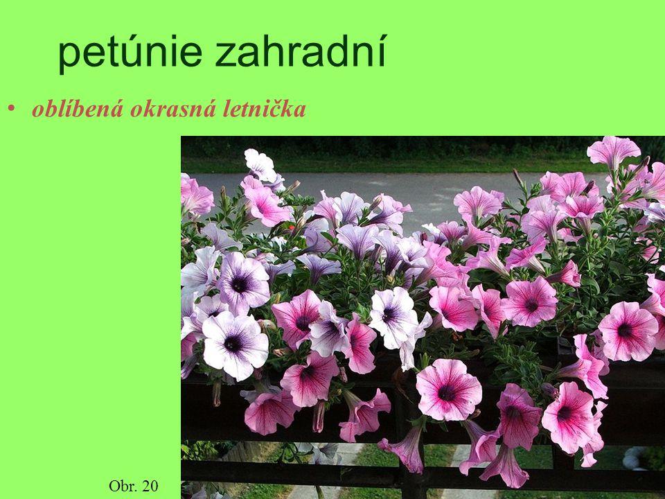 petúnie zahradní oblíbená okrasná letnička Obr. 20