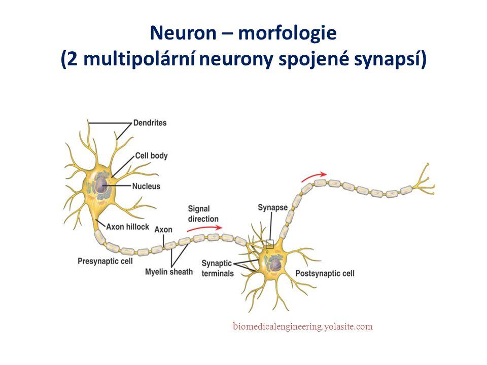Neuron – morfologie (2 multipolární neurony spojené synapsí) b iomedicalengineering.yolasite.com