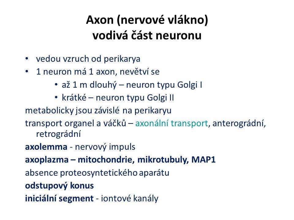 Axon (nervové vlákno) vodivá část neuronu vedou vzruch od perikarya 1 neuron má 1 axon, nevětví se až 1 m dlouhý – neuron typu Golgi I krátké – neuron typu Golgi II metabolicky jsou závislé na perikaryu transport organel a váčků – axonální transport, anterográdní, retrográdní axolemma - nervový impuls axoplazma – mitochondrie, mikrotubuly, MAP1 absence proteosyntetického aparátu odstupový konus iniciální segment - iontové kanály