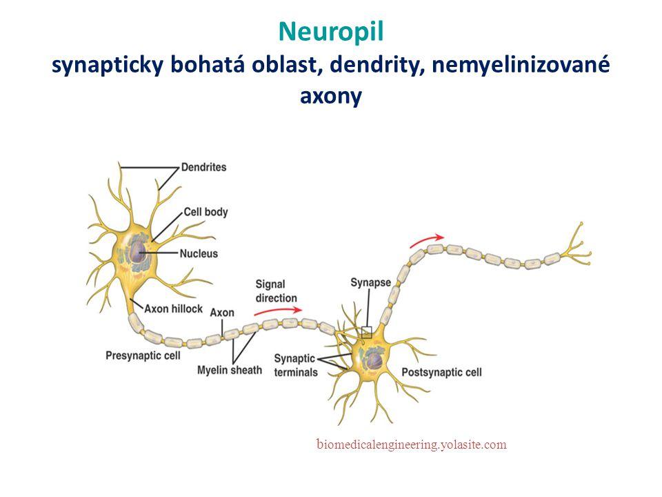 Neuropil synapticky bohatá oblast, dendrity, nemyelinizované axony b iomedicalengineering.yolasite.com