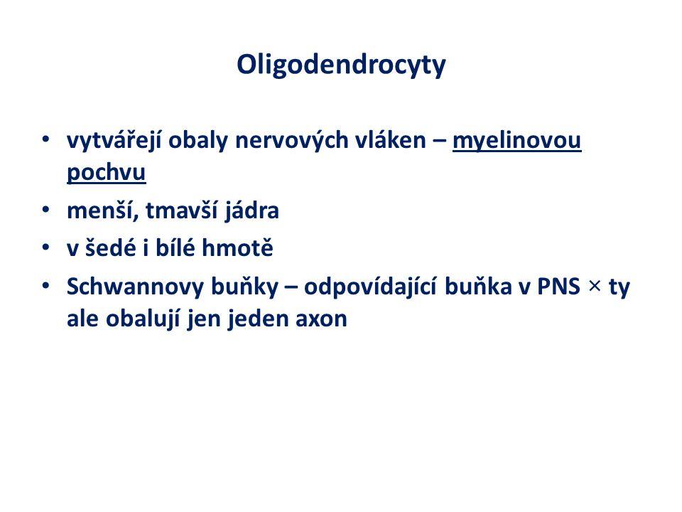 Oligodendrocyty vytvářejí obaly nervových vláken – myelinovou pochvu menší, tmavší jádra v šedé i bílé hmotě Schwannovy buňky – odpovídající buňka v PNS × ty ale obalují jen jeden axon