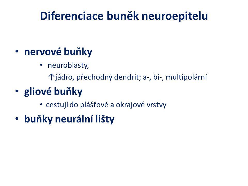 Diferenciace buněk neuroepitelu nervové buňky neuroblasty, ↑jádro, přechodný dendrit; a-, bi-, multipolární gliové buňky cestují do plášťové a okrajové vrstvy buňky neurální lišty