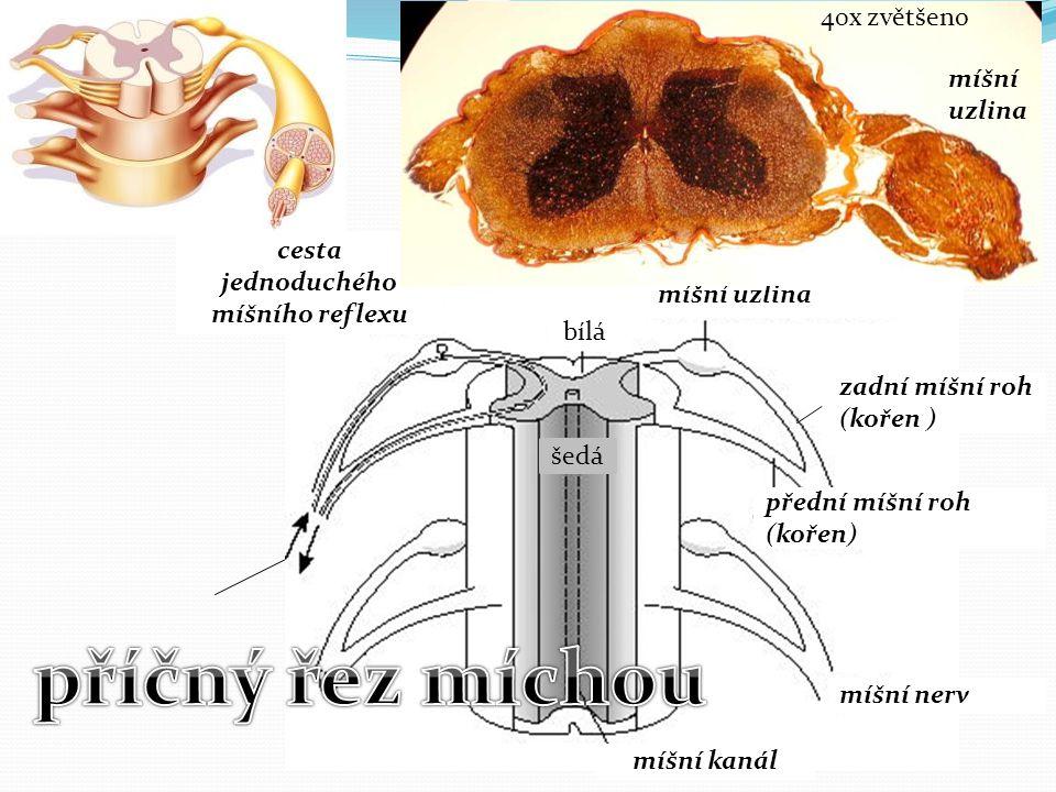 bílá šedá míšní kanál míšní nerv míšní uzlina cesta jednoduchého míšního reflexu zadní míšní roh (kořen ) přední míšní roh (kořen) míšní uzlina 40x zv