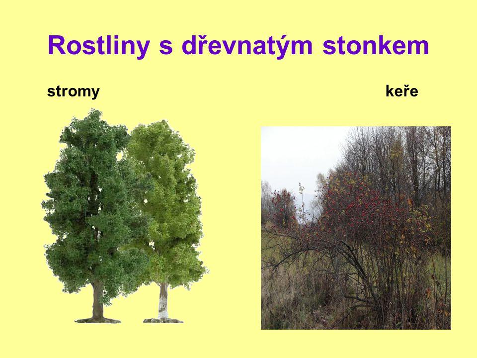 Rostliny s dřevnatým stonkem stromy keře