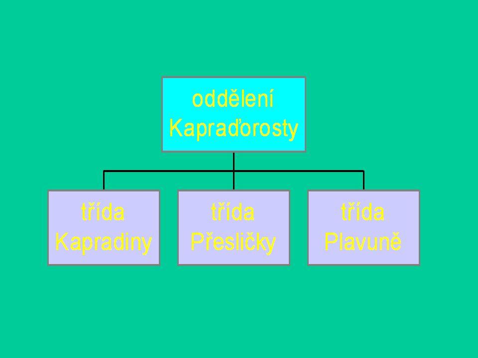 Oddělení: Kapraďorosty Výtrusné cévnaté rostliny V životním cyklu převládá sporofyt nad gametofytem Gametofyt –Redukovaný –Povaha stélky –Výživou na sporofytu nezávislý
