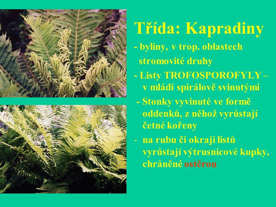 Třída: Kapradiny - byliny, v trop. oblastech stromovité druhy - Listy TROFOSPOROFYLY – v mládí spirálově svinutými - Stonky vyvinuté ve formě oddenků,