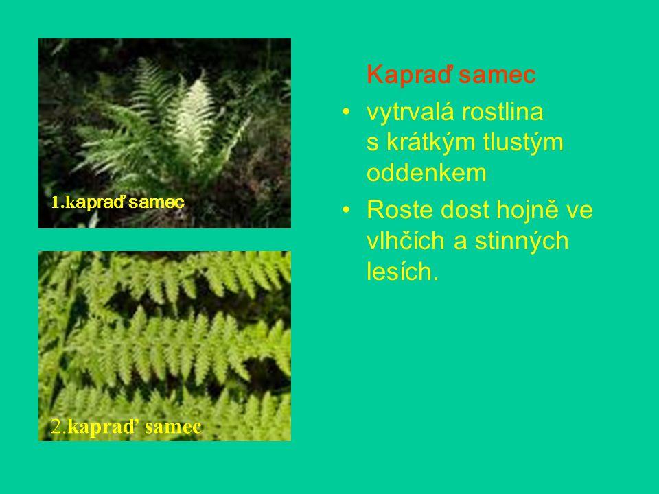 Kapraď samec vytrvalá rostlina s krátkým tlustým oddenkem Roste dost hojně ve vlhčích a stinných lesích. 1.k apraď samec 2.kapraď samec