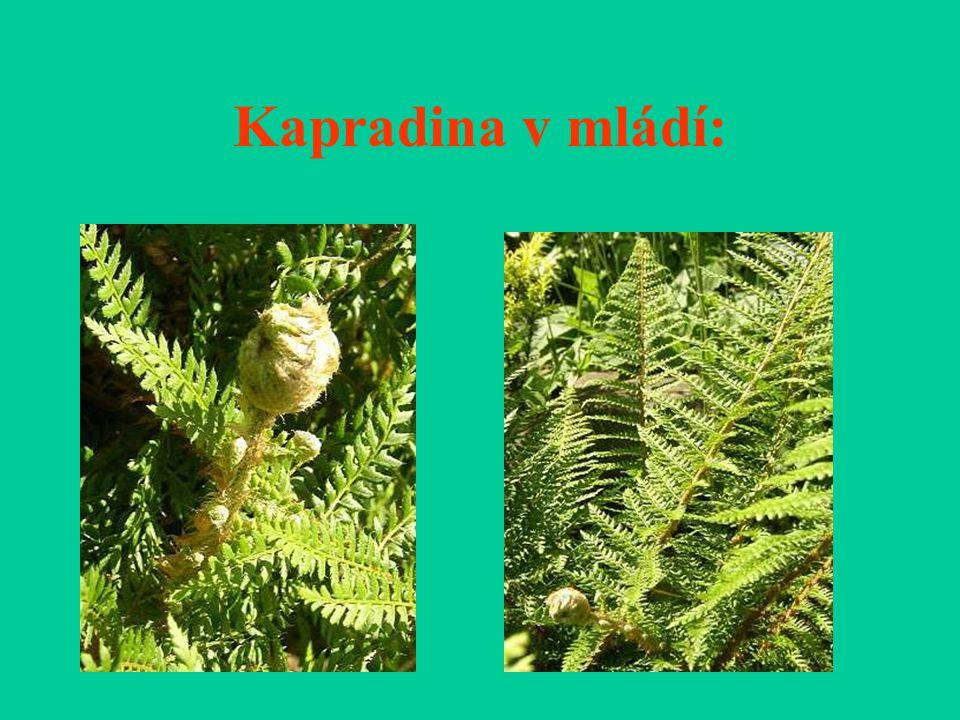 Kapradina v mládí: