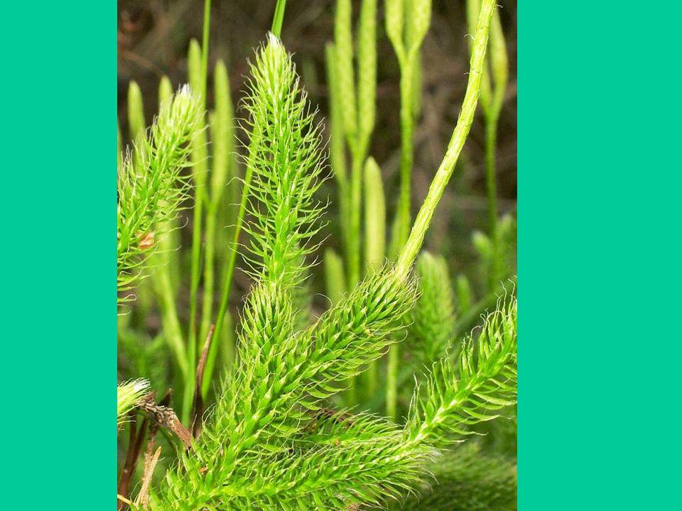 Osladič obecný: Osladič (Polypodium Aureum) je víceletá kapradina s plazivým podzemním oddenkem a většinou přezimujícími listy.