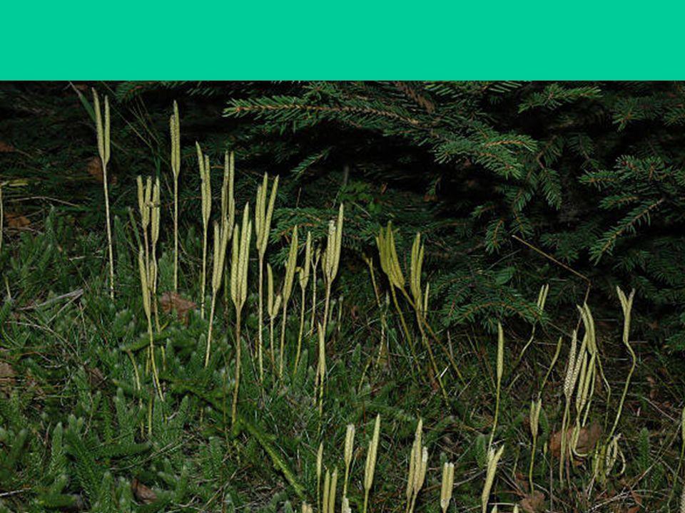 Třída: Přesličky Pokožka prostoupena oxidem křemičitým Článkovaný přeslenitě větvený stonek Někdy vytvářejí lodyhy 2 typu –Jarní (nezelené) –Letní (zelené) Výtrusy –Kulovité –4 haptery