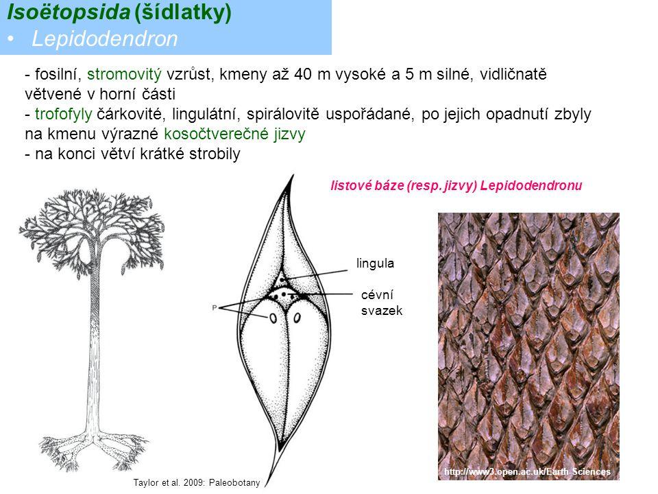- fosilní, stromovitý vzrůst, kmeny až 40 m vysoké a 5 m silné, vidličnatě větvené v horní části - trofofyly čárkovité, lingulátní, spirálovitě uspořá
