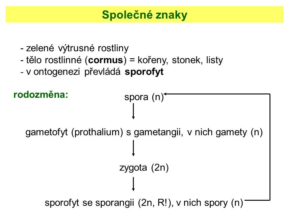 spora (n) gametofyt (prothalium) s gametangii, v nich gamety (n) zygota (2n) sporofyt se sporangii (2n, R!), v nich spory (n) - zelené výtrusné rostli