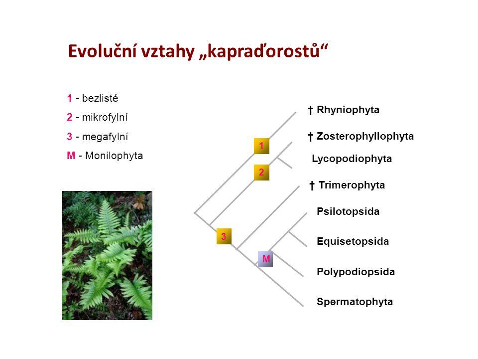 """† Rhyniophyta † Zosterophyllophyta Lycopodiophyta † Trimerophyta Psilotopsida Equisetopsida Polypodiopsida Spermatophyta 1 2 3 M Evoluční vztahy """"kapr"""