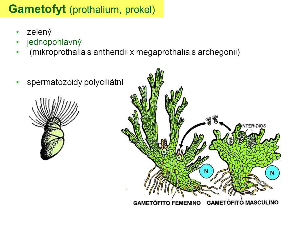 Gametofyt (prothalium, prokel) zelený jednopohlavný (mikroprothalia s antheridii x megaprothalia s archegonii) spermatozoidy polyciliátní