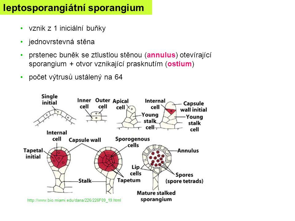 leptosporangiátní sporangium vznik z 1 iniciální buňky jednovrstevná stěna prstenec buněk se ztlustlou stěnou (annulus) otevírající sporangium + otvor