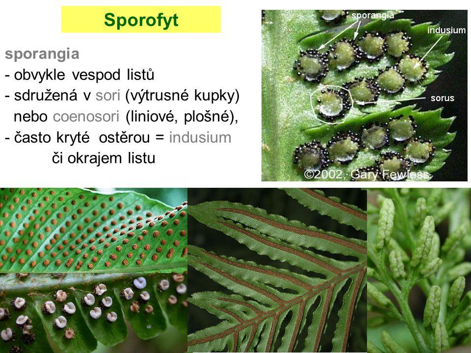 sporangia - obvykle vespod listů - sdružená v sori (výtrusné kupky) nebo coenosori (liniové, plošné), - často kryté ostěrou = indusium či okrajem list