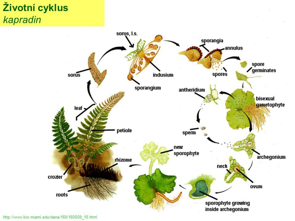 Životní cyklus kapradin http://www.bio.miami.edu/dana/160/160S09_10.html