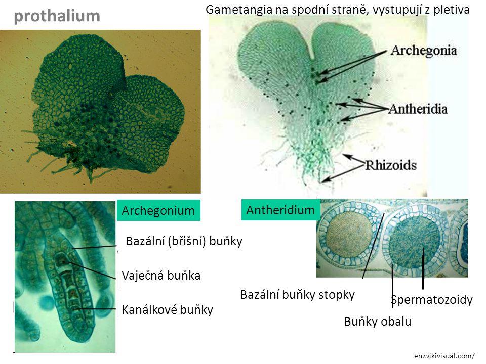 en.wikivisual.com/ prothalium Gametangia na spodní straně, vystupují z pletiva Bazální (břišní) buňky Vaječná buňka Kanálkové buňky Bazální buňky stop
