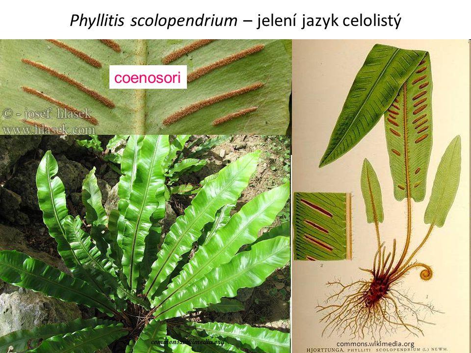 Phyllitis scolopendrium – jelení jazyk celolistý commons.wikimedia.org coenosori