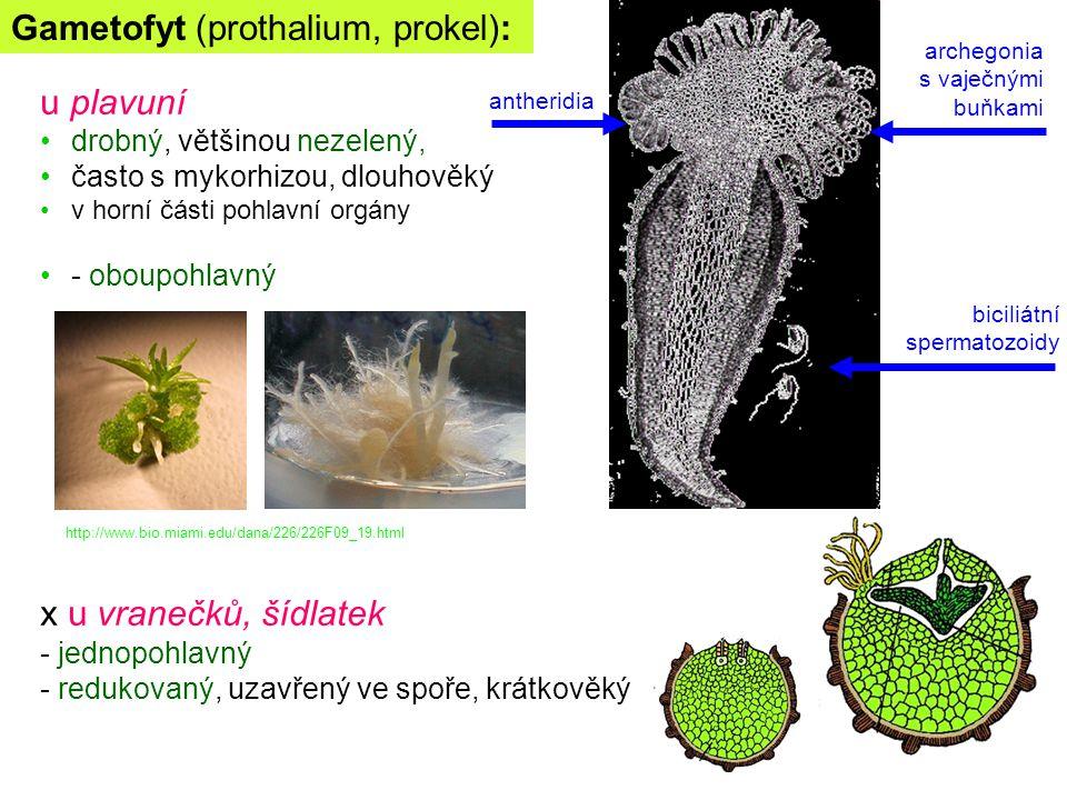 Gametofyt (prothalium, prokel): u plavuní drobný, většinou nezelený, často s mykorhizou, dlouhověký v horní části pohlavní orgány - oboupohlavný x u v
