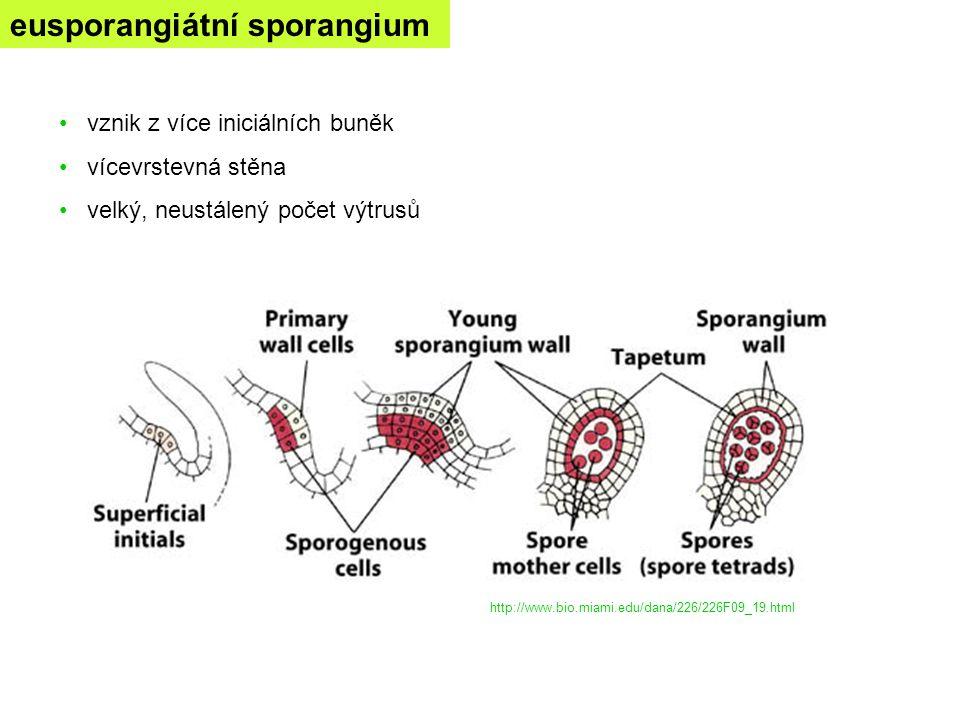 eusporangiátní sporangium vznik z více iniciálních buněk vícevrstevná stěna velký, neustálený počet výtrusů http://www.bio.miami.edu/dana/226/226F09_1