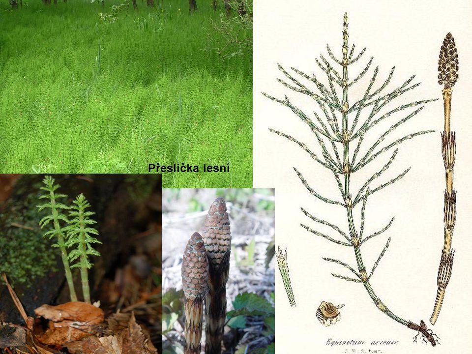 Přesličku přirozeně nesbíráme na chemicky hnojených polích. Rostlina má široko rozložený a hluboko rostoucí oddenek. Počátkem jara z něho vyrážejí hně