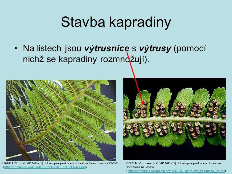 Stavba kapradiny Na listech jsou výtrusnice s výtrusy (pomocí nichž se kapradiny rozmnožují). DANIELCD. [cit. 2011-04-05]. Dostupné pod licencí Creati