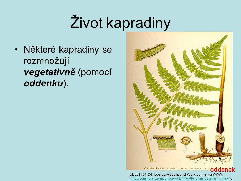 Život kapradiny Některé kapradiny se rozmnožují vegetativně (pomocí oddenku).