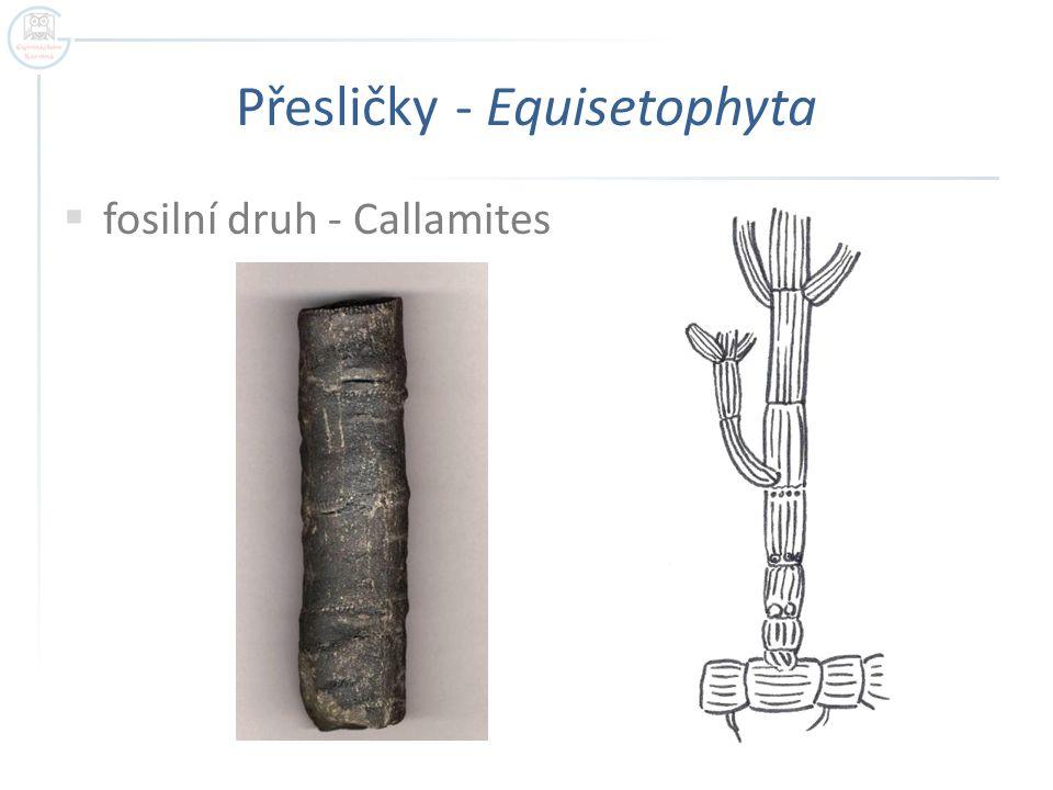 Přesličky - Equisetophyta  fosilní druh - Callamites